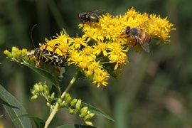 goldenrod-insects-img_3582