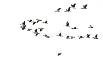 large-flock-canada-geese-flying-white-background-flock-canada-geese-flying-white-background-116217968